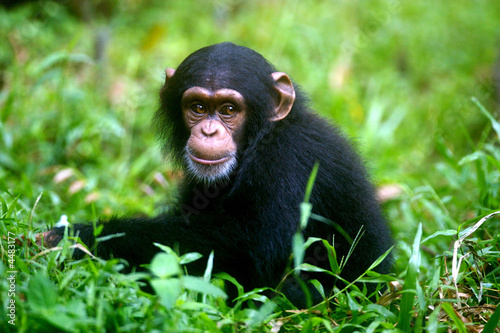 Canvas Print Chimpanzee