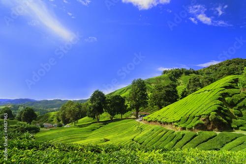 Dekoracja na wymiar pola-plantacji-herbaty-w-cameron-highland