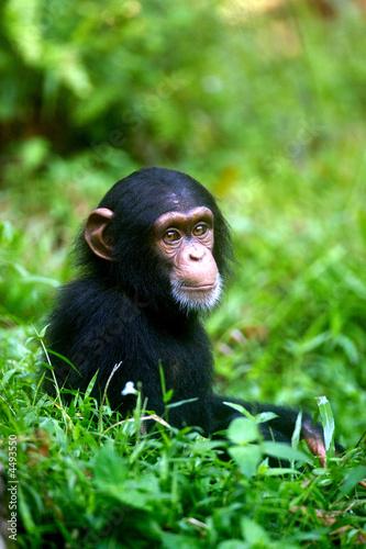 Fototapeta Chimpanzee