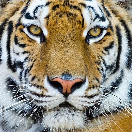 Foto op Plexiglas Tijger tiger