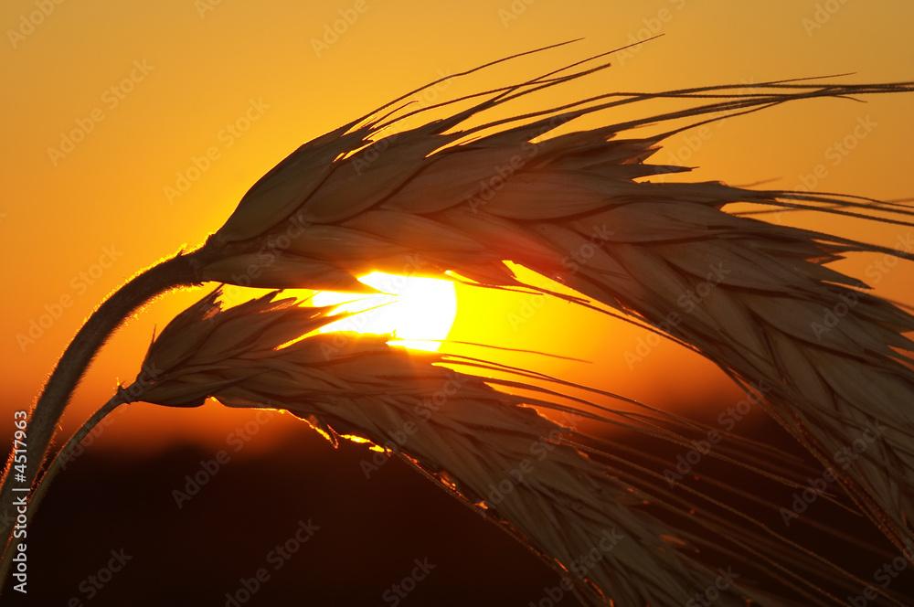 Fototapeta Wheat