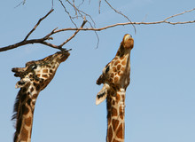 Giraffes Stretched To The Limit