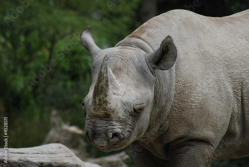 Poster Rhino sleepy rhinoceros