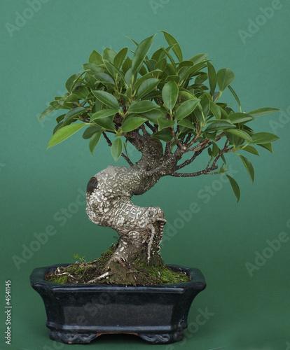 Photo Stands Bonsai Bonsai (Ficus retusus)