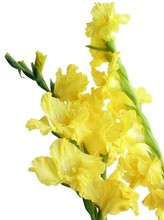 Bunches Of Yellow Gladiolus Flowers