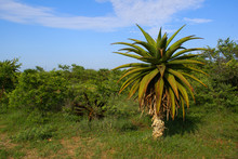 African Landscape With Accacias And Aloe Tree