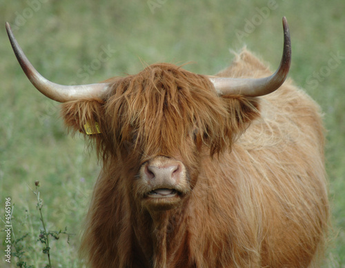 Fototapety, obrazy: Highland Cow Face