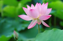 Lotus Flower And Bud