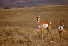 Pronghorn Doe With Fawn