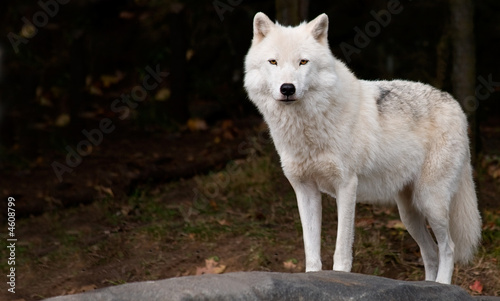 In de dag Wolf Arctic Wolf Looking at the Camera