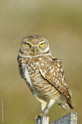 Keuken foto achterwand Uil Burrowing Owl perched on a T stake