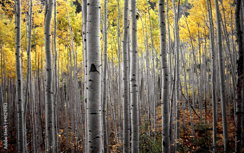 Deurstickers Berkbosje aspen trees in fall