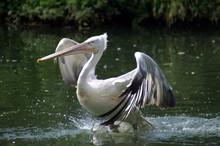 Pelikan 4
