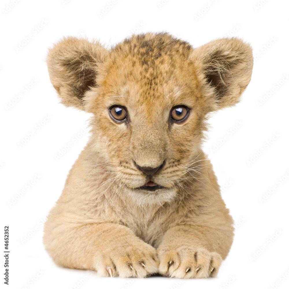 Fototapeta Lion Cub (3 months)