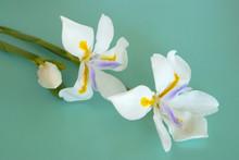 Large Wild Iris (Dietes Grandiflora)
