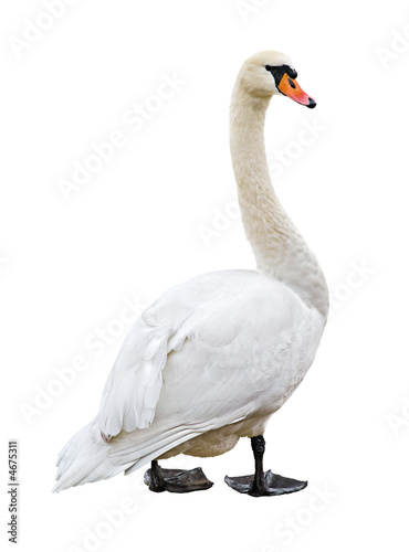 White mute swan isolated on blank background