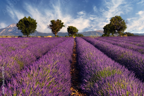Spoed Foto op Canvas Lavendel Lavender field in Provence, France