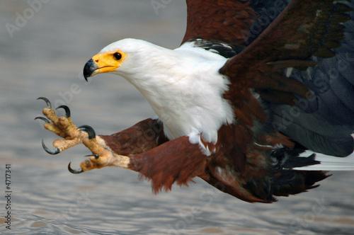 African Fish Eagle. Fototapeta