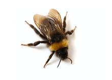 Bumblebee  Close-up