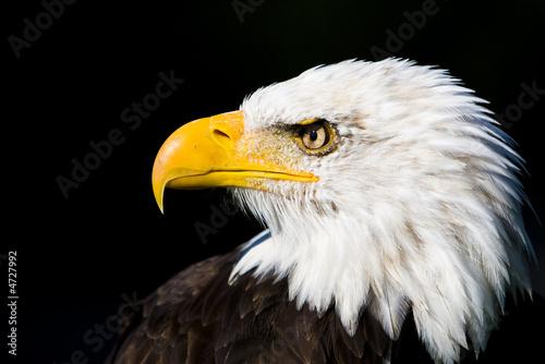Poster Aigle Greifvögel