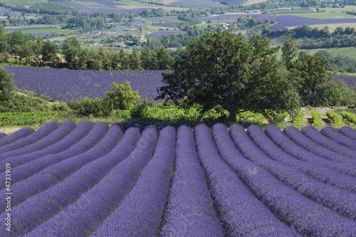 Photo Stands Lavender Arbre solitaire devant un champ de lavande Provençal