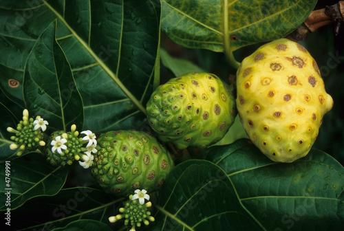 Fotografie, Obraz  Noni fruit, Rarotonga, Cook Islands