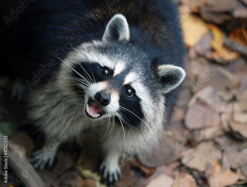 Raccoon (Procyon lotor) Tablou Canvas