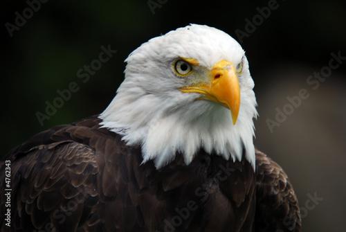 Poster Aigle American Bald Eagle (Haliaeetus leucocephalus)