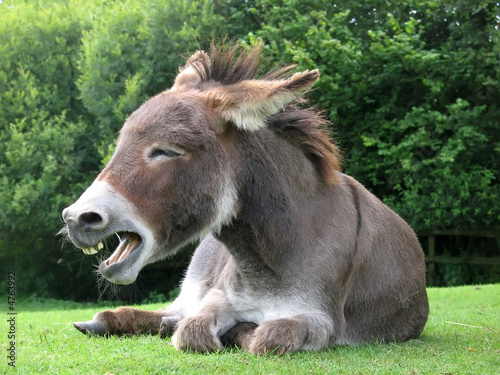 Deurstickers Ezel Laughing donkey