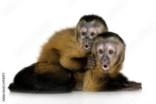 Two Baby Capuchins - sapajou apelle Billede på lærred