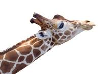 Giraffe Head Isolated On White Background