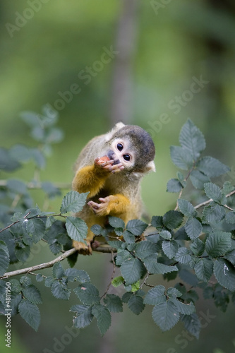 Garden Poster Monkey Common Squirrel Monkey