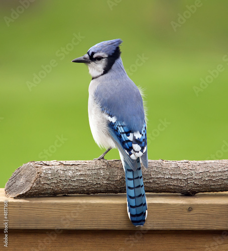 Cuadros en Lienzo Blue jay perched on a deck rail.