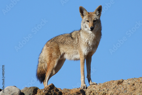 Photo Blue Sky Coyote