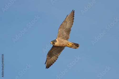 Photo  Peregrine Falcon in Flight