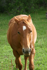 Red Horse (Equus caballus) with Ears Back