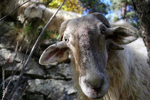 Fotografie, Obraz  Moutons des Alpes