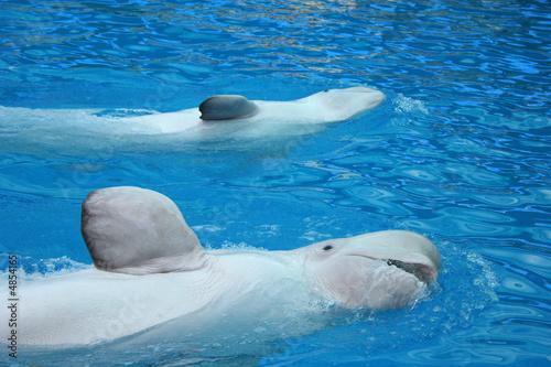 Leinwand Poster Beluga whale salute you.