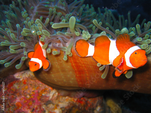 Photo  Tropical clown fish family