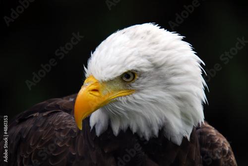 Garden Poster Eagle American Bald Eagle (Haliaeetus leucocephalus)