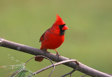 Male Northern Cardinal On A Co...