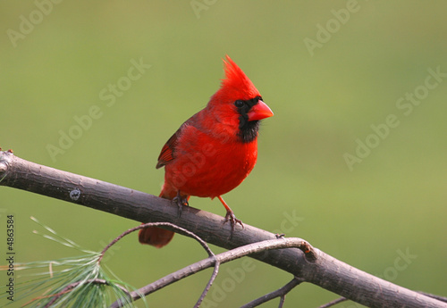 Photo  Male Northern Cardinal on a Cold Winter Day