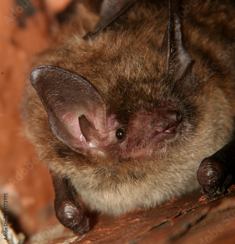 Fotografie, Obraz  Little Brown Bat