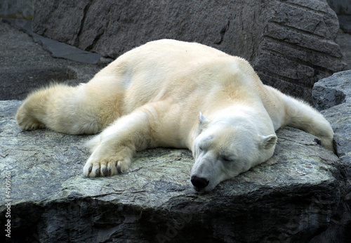 Papiers peints Ours Blanc müder und schlafender Eisbär