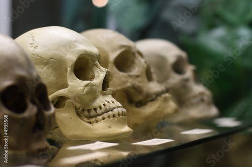 Photo Human skulls standing on the glass shelf