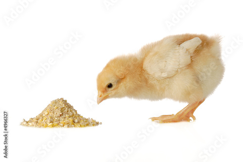 Fotomural Baby chicken having a meal