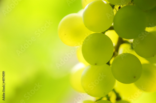 Doppelrollo mit Motiv - Close-up of a bunch of grapes on grapevine