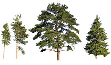 Tree Pines And Fir