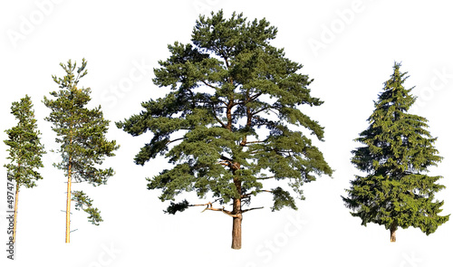 Obraz tree pines and fir - fototapety do salonu