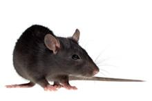 Small Rat